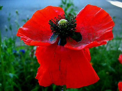 Red Poppy Seeds Flower Seeds Exotic Garden Plant Seed
