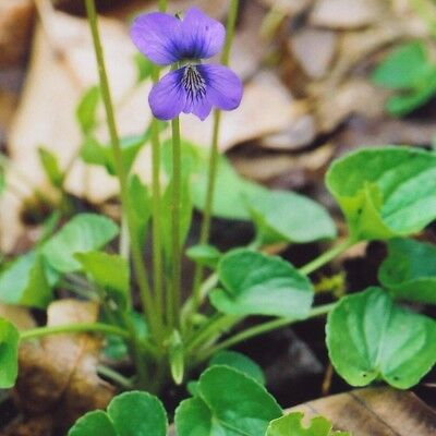 Marsh Blue Violet .... 30 Seeds