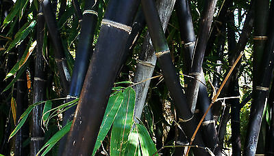Bamboo Seeds Buddhas Belly, Black, Moso, Mixed Garden Pot Plant Exotic New Seed[