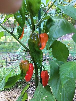 """RED Ghost Pepper seeds """"BHUT JOLOKIA"""", 25+ Seeds - Huge Peppers, NON GMO"""