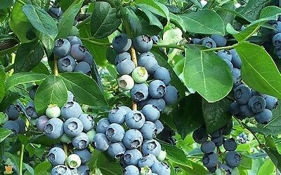 100 Southern Blueberry Seeds Highbush Perennial Evergreen Garden Fruit Shrub