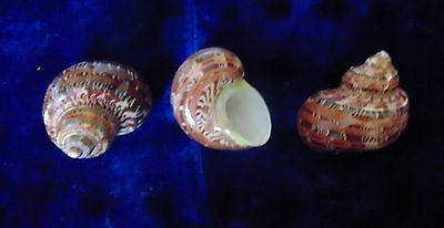 Three (3) Extra Large Turbo Petholatus  Sea Shells  Beach Decor Craft Aquarium