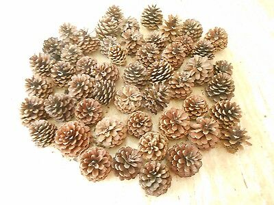 Lot Of 50 New Jersey Pitch Pine & Jersey Pine Pine Cones