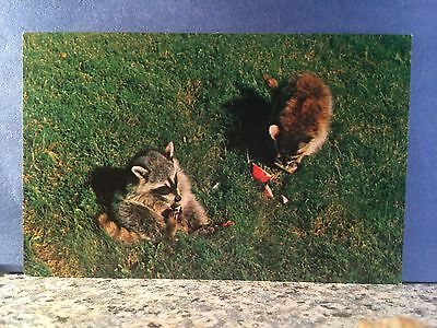 Postcard Raccoons Scoring Watermelon At Campsite