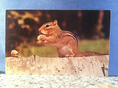 Postcard Chipmunk Snacking On Roasted Peanuts