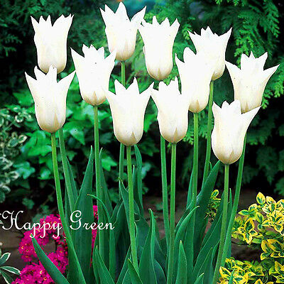 12 x WHITE TRIUMPHATOR Lily tulip bulbs  - Easy to grow + Free Flower Seeds