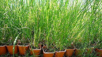 Vetiver (monto) grass. 5 plants. Great for erosion control and water treatment.