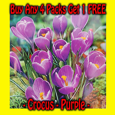 50 Purple Crocus Bulbs Spring Flowering PRE ORDER For Delivery Aug/Sep
