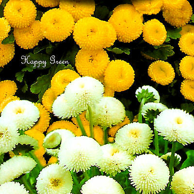 SPECIAL MIX BALL FLOWER SEPARATE TWO COLOURS 1600 SEEDS Chrysanthemum parthenium