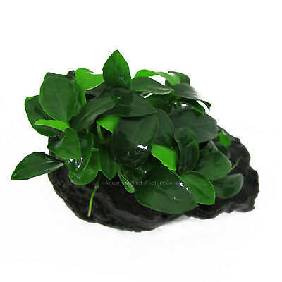 Anubias Nana 'Petite' on Driftwood - Live Aquarium Freshwater Plants Decorations