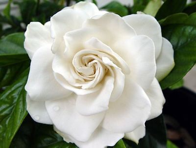 Gardenia Fragrance Oil Candle Making Supplies FREE SHIPPING