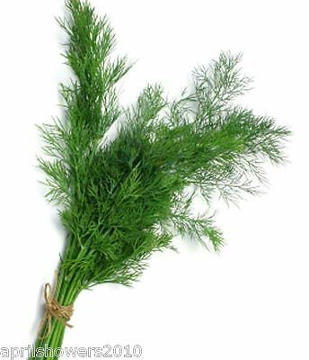 Dill Diana Herb Seeds Very Leafy Highly Aromatic Easy 250+ SEEDS