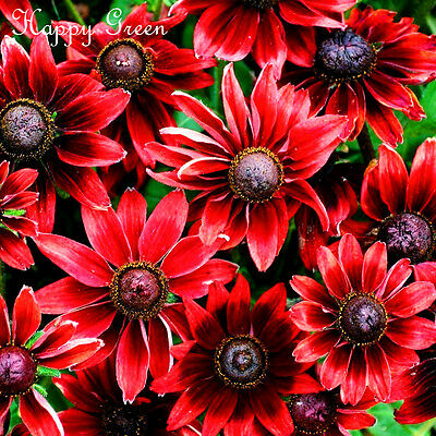 CONEFLOWER - Rudbeckia Hirta CHERRY BRANDY - Black eyed Susan - 100 SEEDS