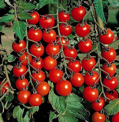 Tomato Cherry - Supersweet 100  - 50 Finest Seeds - Bio/organic