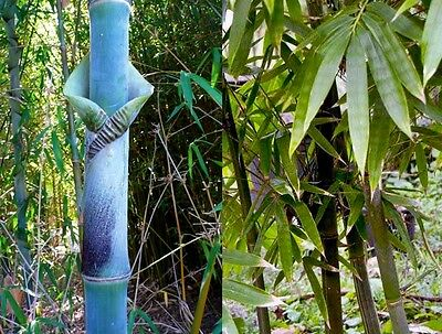 Bambusa tulda (Indian Timber / Bengal Bamboo) Extremely rare - 10 Viable seeds