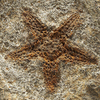 FOSSIL STARFISH - Stenaster sp. - Ordovician - Oued El Kaid Rami - MOROCCO