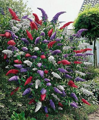 New Butterfly Bush Seeds Fresh Buddleia Mixed Purple Red White Flower Plant Seed