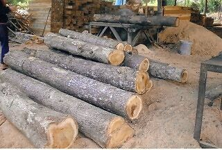 Naturally Grown Burmese Teak Harvested in Lao large quantities available