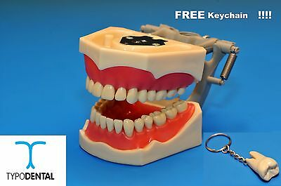 Dental Typodont Model 860 works with Columbia brand teeth (Free Keychain)