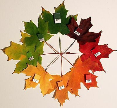 25 SUGAR MAPLE SYRUP TREE Native Rock Fall Color Acer Saccharum Seeds *Comb S/H