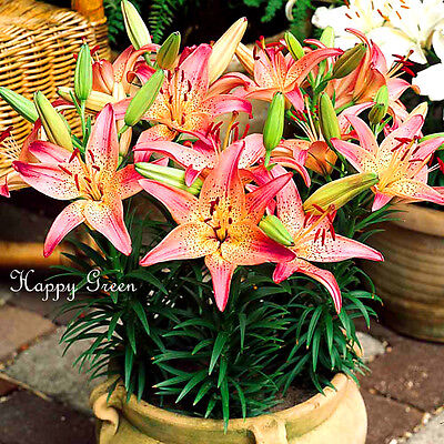 2x Pink Pixie Lilies - GREAT FOR POTS -  LILY BULBS + Free Flower Seeds