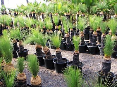 Grass Trees - Black Boys - Xanthorrhoea Johnsonii Australis
