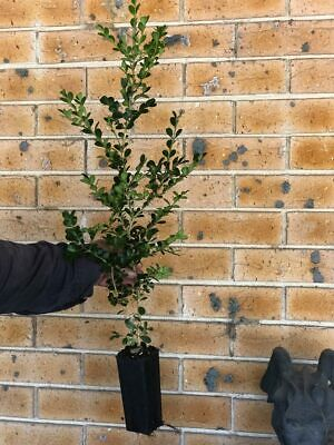 - Japanese Buxus Plants Box Hedging and Topiary Great Value!