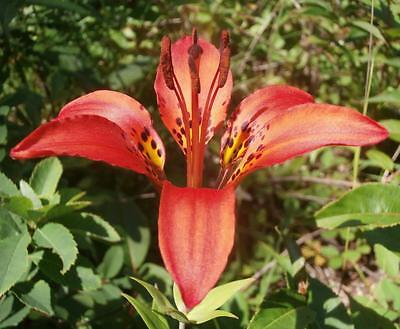 Wood Lily ..... 30 Seeds