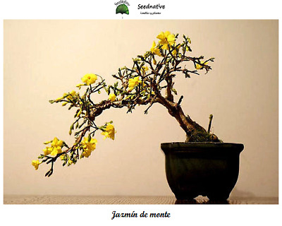 Jazmin de monte - Jasminum fruticans - 100 semillas - Seeds - Ideal Bonsai