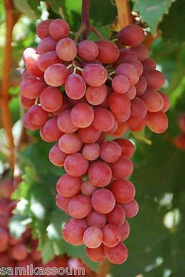 3 x Red grapes cuttings, Self fertile, Holy Land