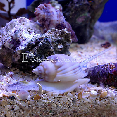 Nassarius Snails Sand Sifting Clean Up Crew Marine Aquarium (Wickford, Essex)