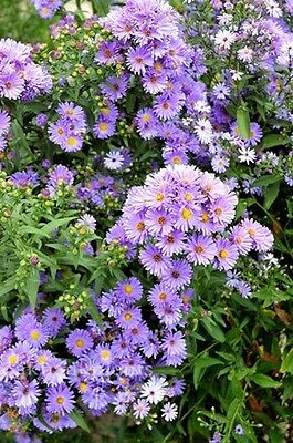 ASTER BLUE GOWN perennial aster
