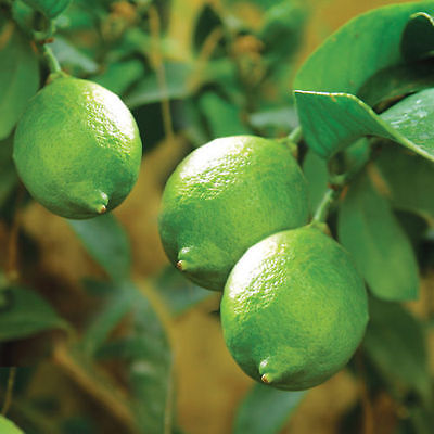 12 Lime Tree Fruit Seeds Organic Indoor Outdoor Heirloom Grow Citrus Seed