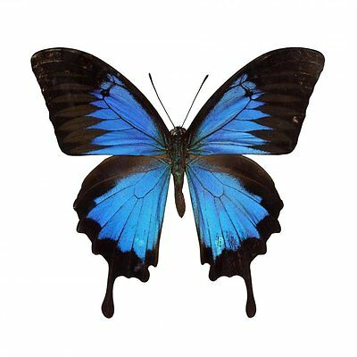 Real Papilio Ulysses Blue Emperor Butterfly Insect Taxidermy