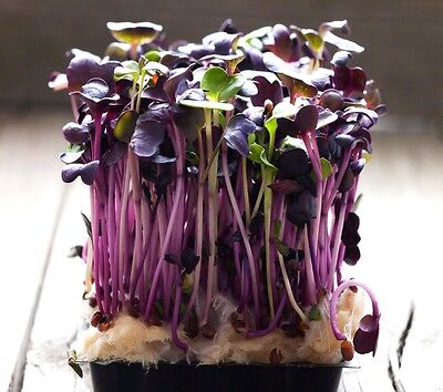 Sprouting seeds - RADISH RED PURPLE - anti cancer - 10 GRAMS sprouts