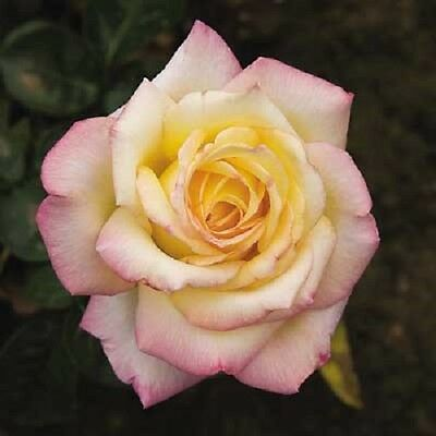 2 x Pink Yellow 'Peace' Hybrid Tea Rose (Bare Root) FREE Postage UK