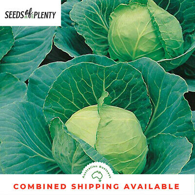 CABBAGE - Golden Acre (1200 Seeds) Bulk HEIRLOOM Winter Vegetable COOL SEASON