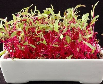 Sprouting seeds - BEETROOT - BEET - 20 GRAMS sprouts