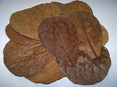 50 (Grade B) Indian Almond (Catappa) Leaves (12- 25+cm) - Discus, Shrimp, Bettas