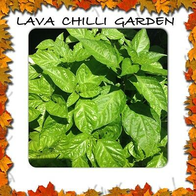 56 RARE CHILLI Plant Varieties!! Min 2  per order, You Choose Your Varieties
