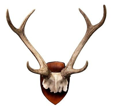 """16.5"""" Tall Mounted Deer Antlers Partial Skull Wall Plaque Hanging Trophy Statue"""