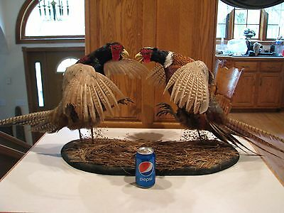 Taxidermy Chinese Ring Neck Pheasant Rooster Cock Fight Bird Hunt Whitetail Deer