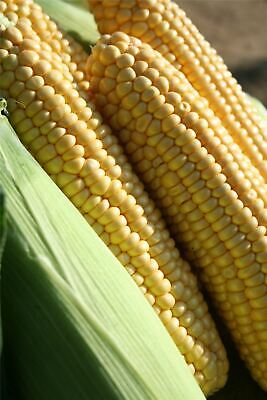 Vegetable - Kings Seeds - Picture Packet - Sweet Corn - Earlibird F1
