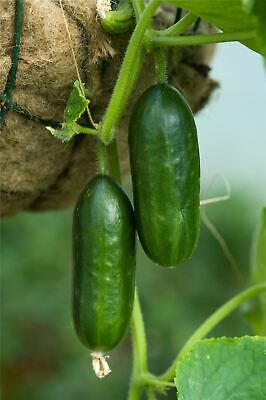 Vegetable - Kings Seeds - Picture Packet - Cucumber - Mini Munch F1 - 4 Seeds