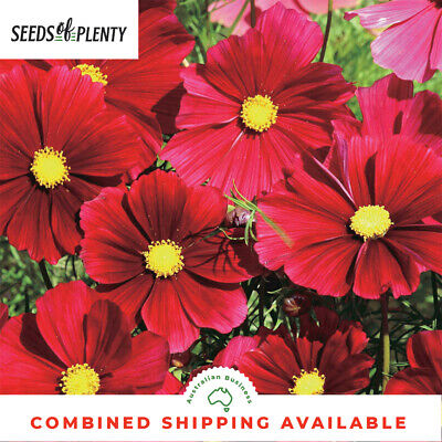 COSMOS  - Dazzler (300 Seeds WILDFLOWERS Cosmos bipinnatus HEIRLOOM