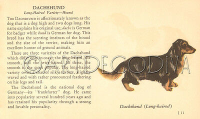 VTG 1941 Smooth & Long Haired DACHSHUND Dog Breed Book Plate Historical Art Page