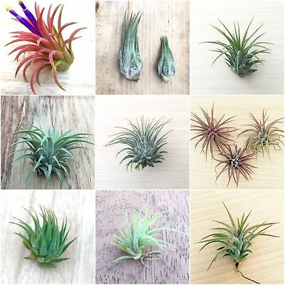 Tillandsia Air Plant House Plant NO SOIL REQUIRED airplant fertiliser succulent