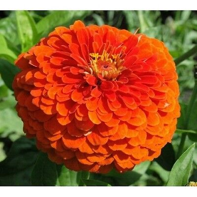 Zinnia Orange King Very Showy Giant Flowers Combined Shipping Seeds