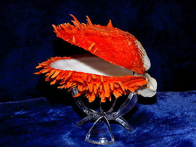 Brilliant Orange Spondylus Ducalis Spiny Oyster Great For Crafts Or Display