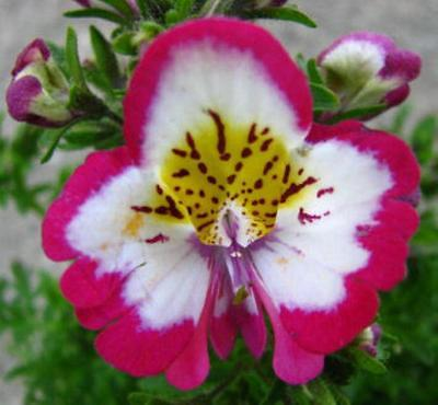 SCHIZANTHUS ~Butterfly Orchid~ Flower Annual SEEDS